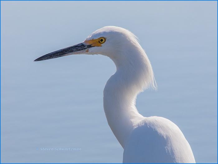 snowy-egret-9178