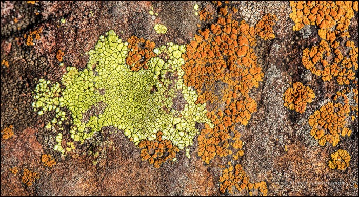yellow-and-orange-lichens-0098