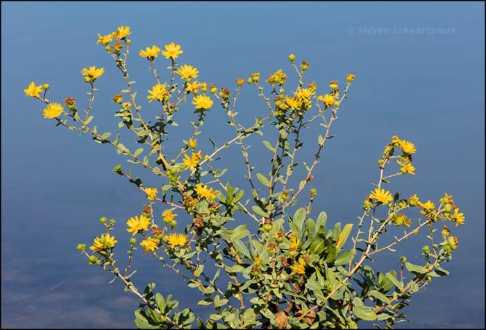 marsh-gumplant-flowering-9187a