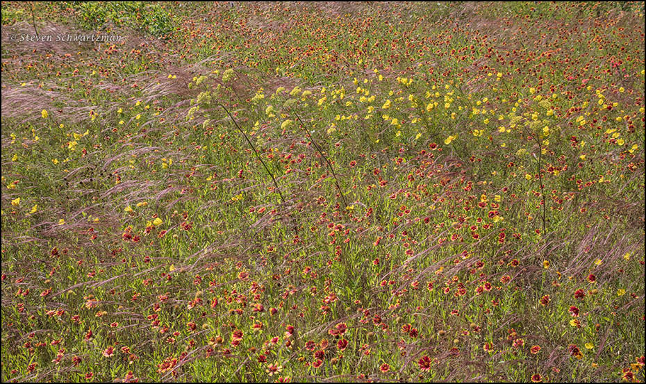 Wind on the Blackland Prairie | Portraits of Wildflowers