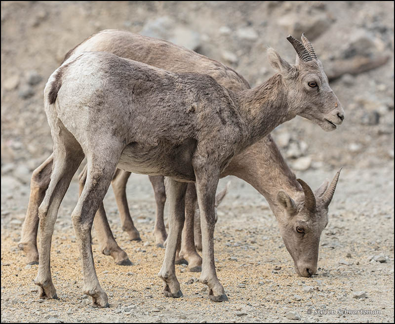Bighorn sheep | Portraits of Wildflowers