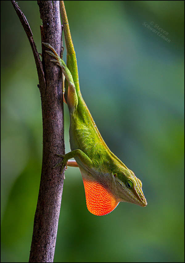 Analoe Lizard with Red Dewlap on Branch 4079